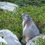 Marmottes du Mont Valier